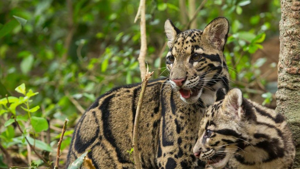 Sunda Leopard © | Pixabay