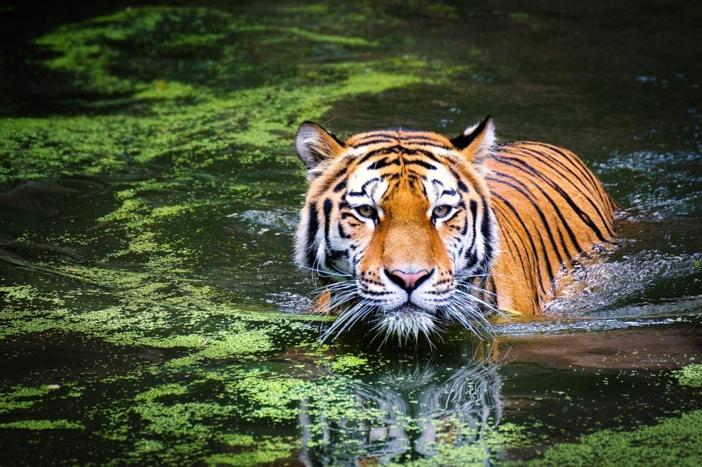 Wild tiger ©   Pixabay
