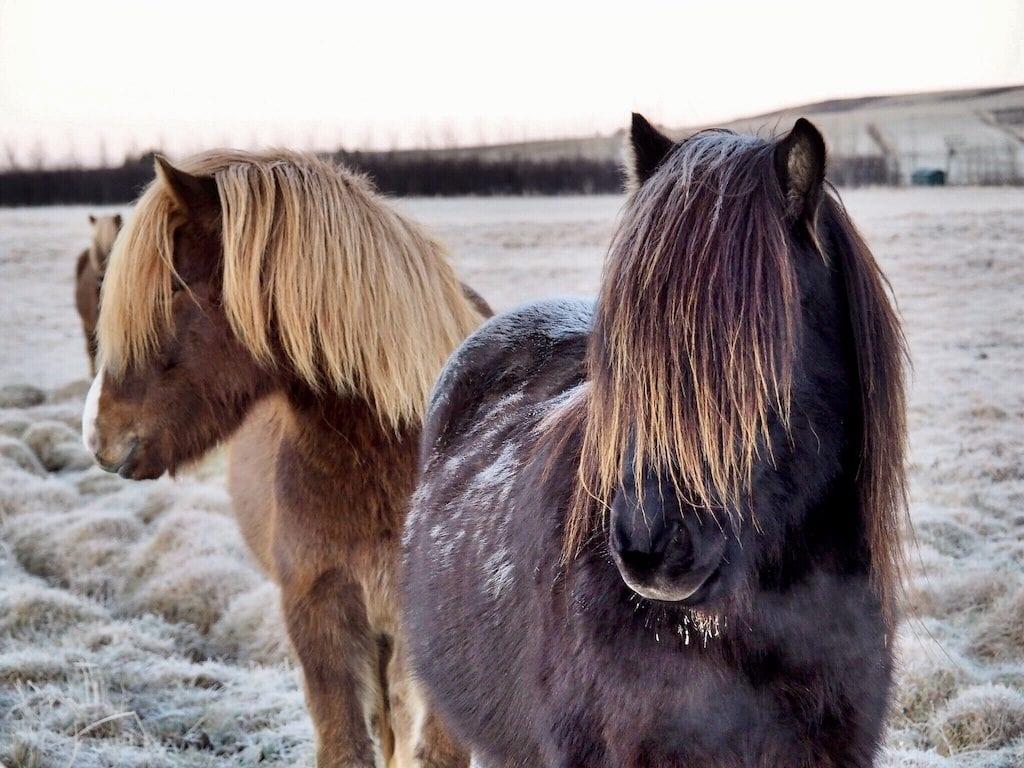 Icelandic horses | © Nikki Vargas