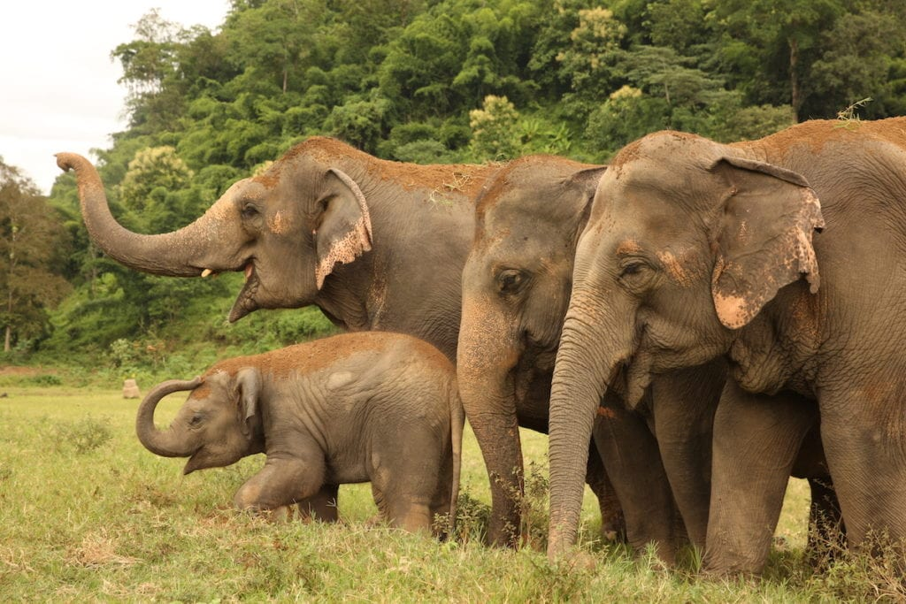 Rescued elephants in Thailand | © Save Elephant Foundation