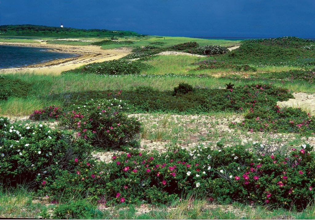 Wildflowers grow on Cape Pogue in Martha's Vineyard | © Courtesy of The Trustees