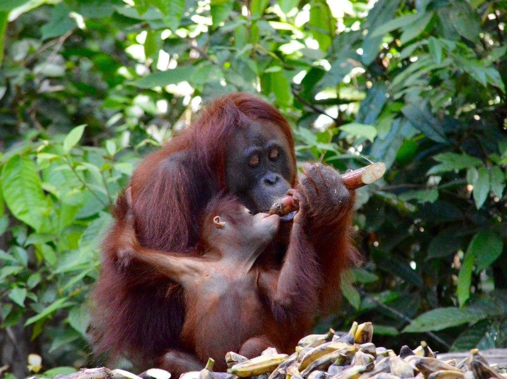 Wild Orangutans photographed in Borneo | © Nikki Vargas