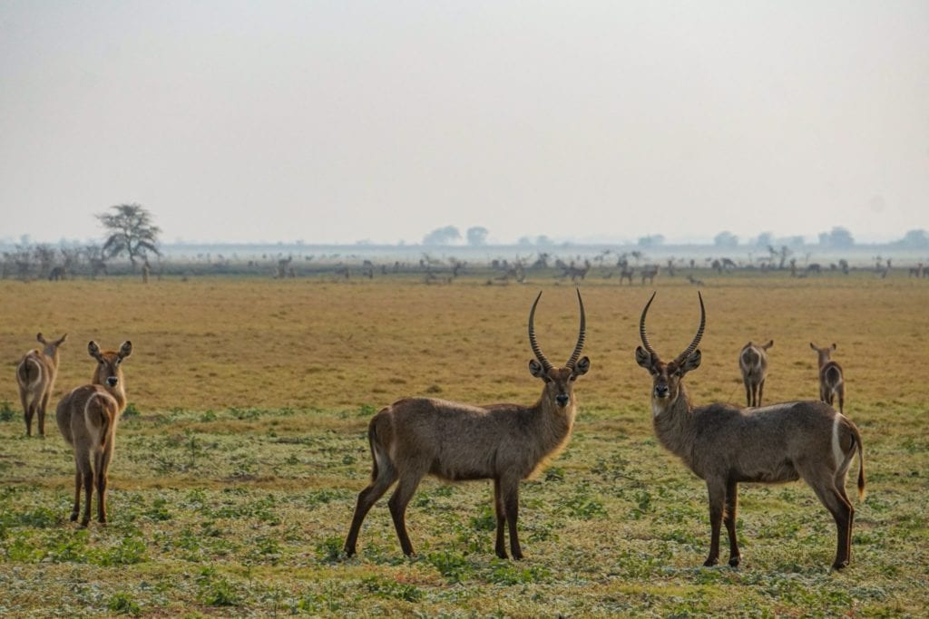 Gorongosa's waterbuck herds are thriving since the end of the civil war - 65,000 waterbuck now call the park home | © Emily Scott/ Blue Sky Society